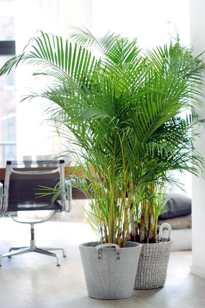 Imagen de una oficina decorada con dos plantas de Palma de Areca