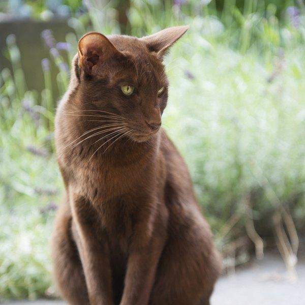 A raça havana é resultado do cruzamento planejado de gatos siameses e domésticos de cor negra