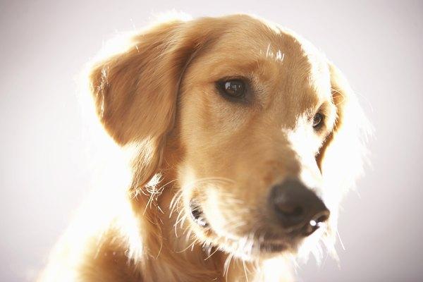 Cães podem perceber odores específicos exalados por tumores cancerígenos