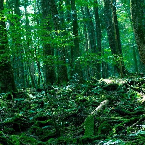 A floresta dos suicídios, como também é conhecida, possui 35 km² de área