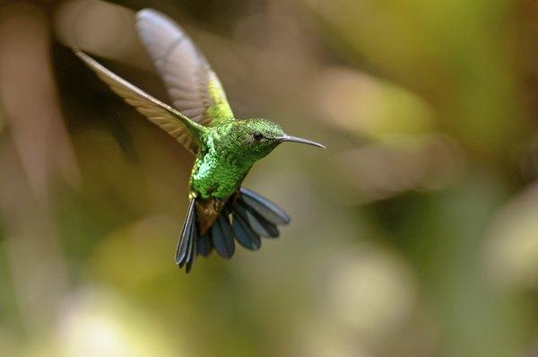 Existem cerca de 322 espécies de beija-flor catalogadas