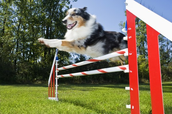 Weave poles are featured in the dog agility event known as steeplechase.