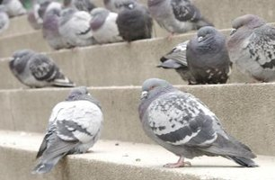 Pigeons commonly nest and search for food around farms, parks, city buildings and homes.