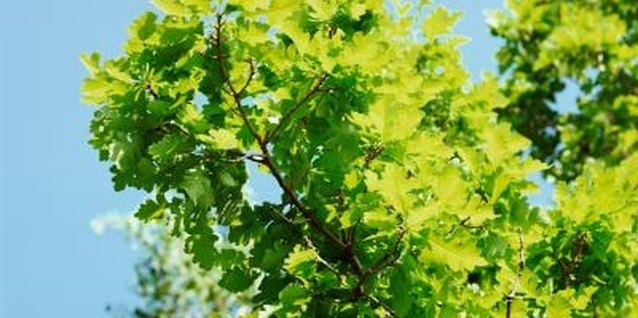Shumard oak is a type of red oak tree.