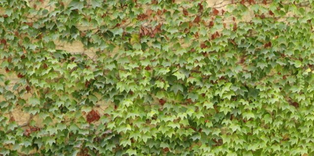 Ivy is a very popular ground cover.