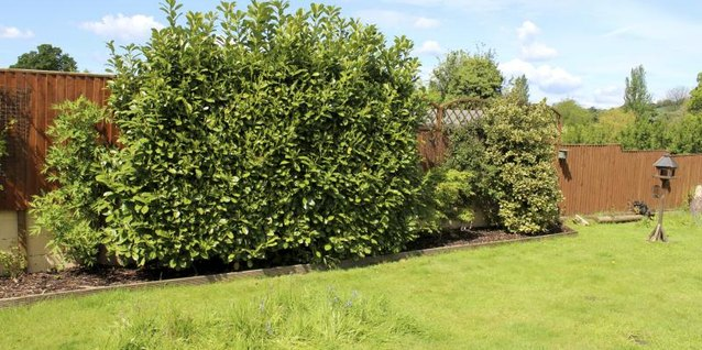 a large bush of Cherry laurel acts as a hedge in a homeowner's backyard