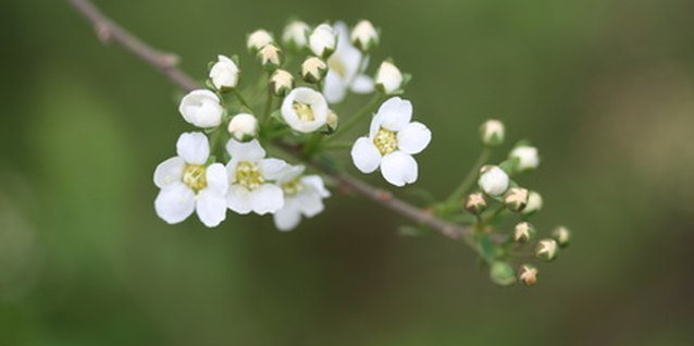 How to Prune Snowball Spirea