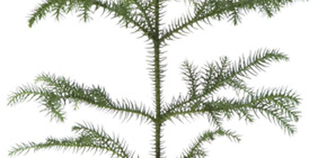 How to Propagate a Norfolk Pine Houseplant
