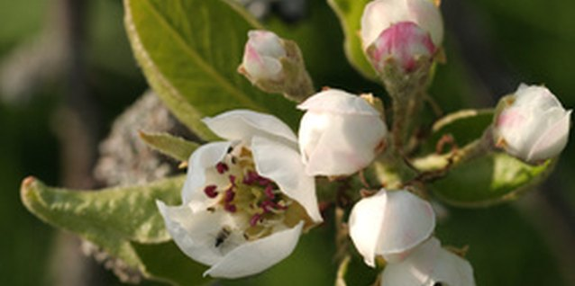 The Bradford pear tree is an ornamental, not a fruit tree.