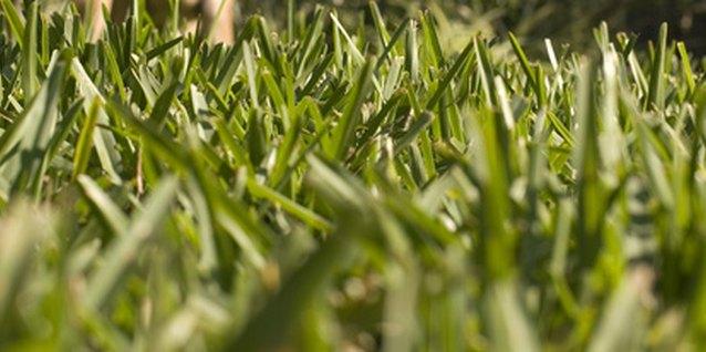 The coarse blades of St. Augustine grass.