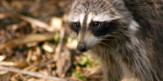 Raccoons are one of many pests that look for grubs in lawns.
