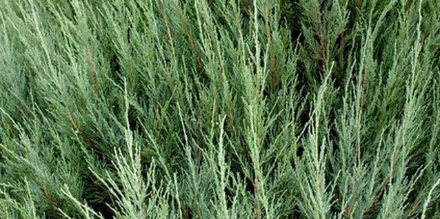 Good Fertilizer Formula for Young Arborvitae