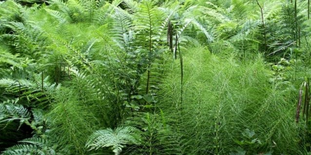 How to Start an Asparagus Fern From a Sprig or Berry