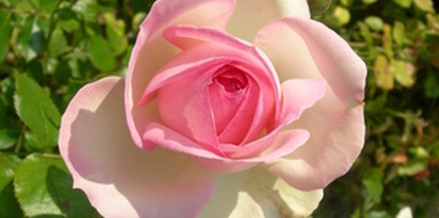 Rose bushes require routine maintenance.