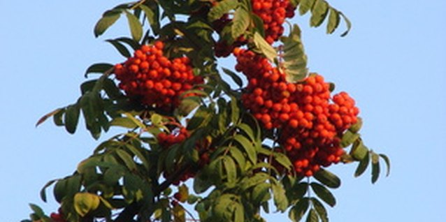 Rowan trees develop clusters of about 40 berries in mid-summer.
