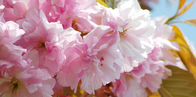 The flowering almond tree
