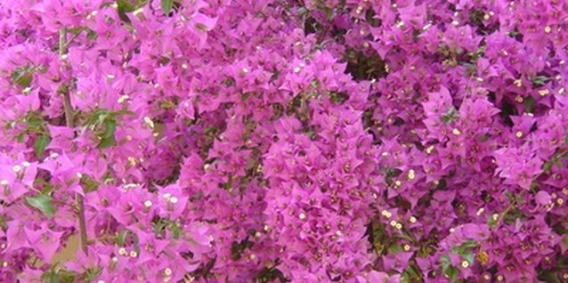 How to Prune an Anthony Waterer Spirea