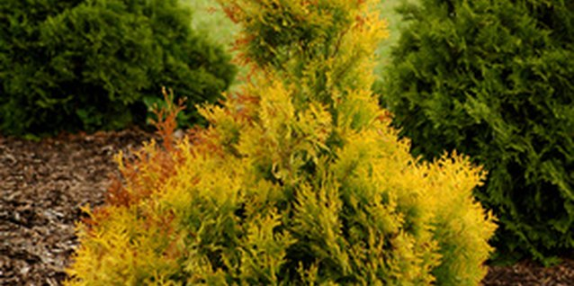 Thuja comes from the eastern white cedar tree