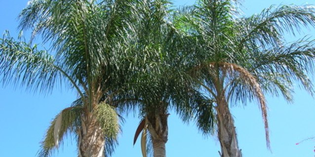 Stately queen palms can develop nutrient deficiencies in alkaline soil.