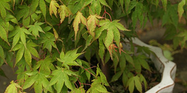 An ornamental tree like Japanese maple can be planted in a pot.