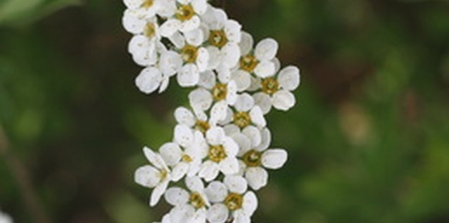 Spirea's tiny flowers bloom in late spring.