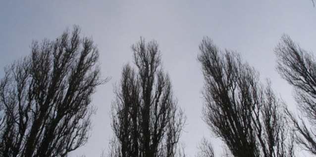 Poplar trees grow easily and quickly.