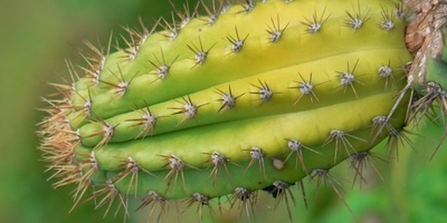 Cacti are easy to raise indoors