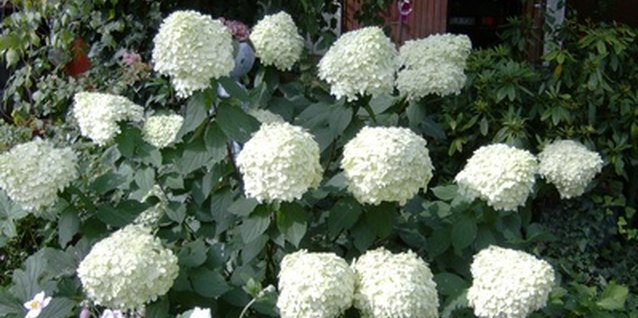 Prune Annabelle hydrangeas after they bloom.