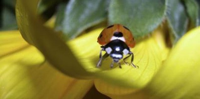 Ladybugs eat pollen and nectar from flowers.