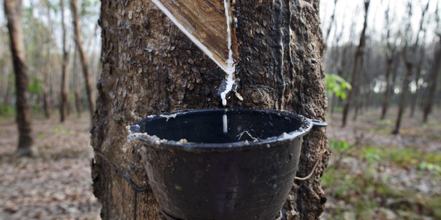 Latex flows down an incision in the rubber tree's bark and collects in a cup.