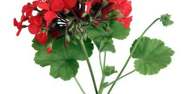 Geraniums come in a variety of colors including red, fushcia and lavender.