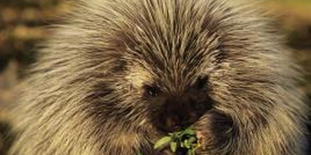 The North American porcupine forages for flowers, berries and even antlers.