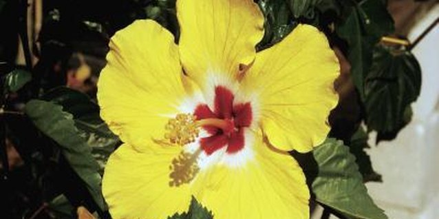 Colorful hibiscus blossoms are beautiful and nontoxic.