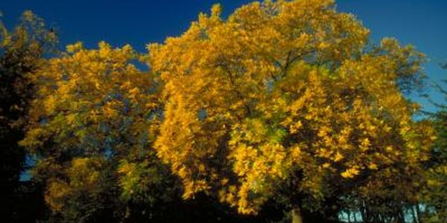 How to Diagnose Curled, Brown Leaf Edges on Oak Trees