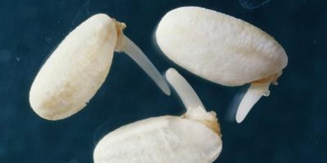Germination of Bean Seeds Without Soil