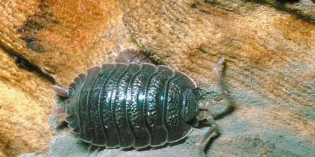 Pillbugs need a lot of moisture in the air to breathe.