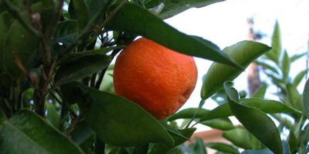 Dancy tangerine trees have glossy, green foliage.