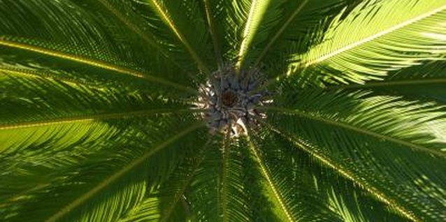 How to Get Seeds From a Sago Palm Tree