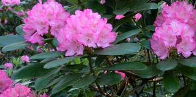 When Should You Prune a Rhododendron?