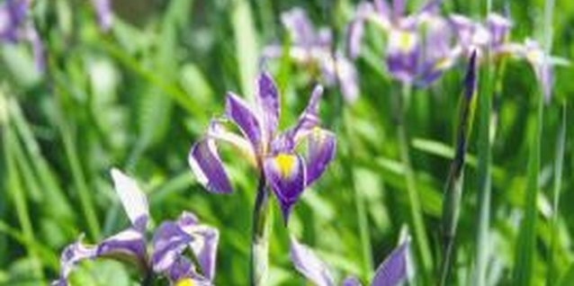 Use all-natural bone meal fertilizer to encourage iris blooms.