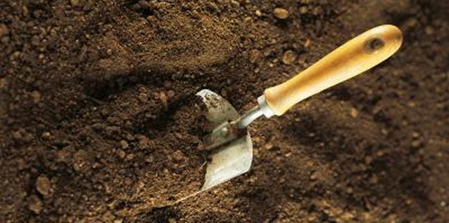 Dig through the soil carefully, looking for pieces of the rhizome.