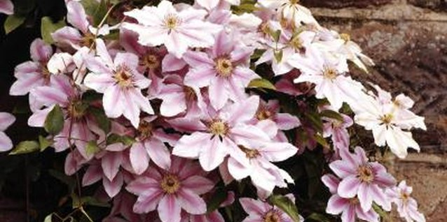 Will Clematis Grow on a Wall?