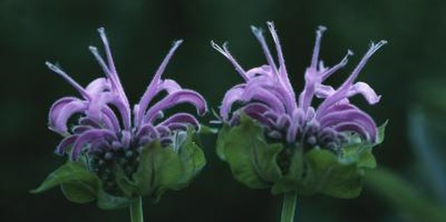 Bee balm is also called bergamot, horsemint and scarlet monarda.