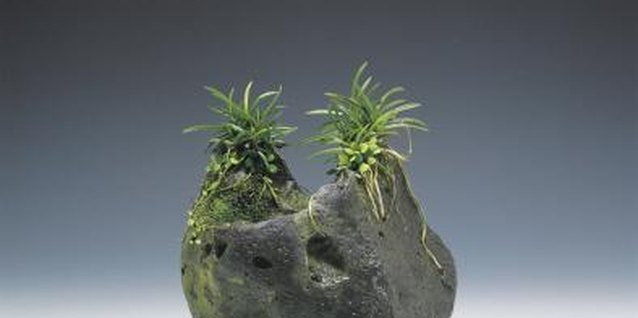 Air plants require no soil in which to grow.