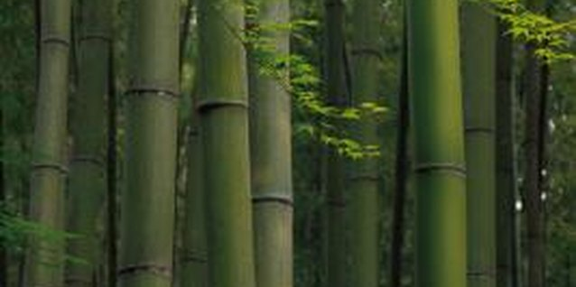 Some varieties of bamboo can grow 1 foot or more per day.