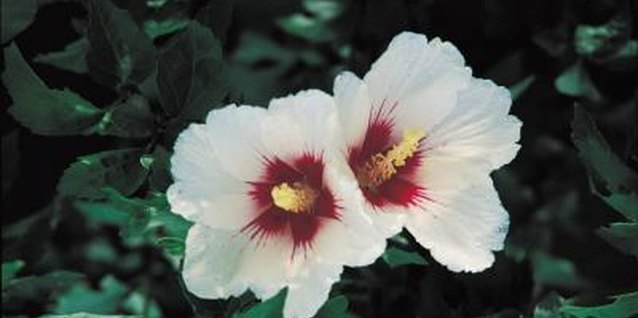 Rose mallow may be pink, purple, red or white with a red center.