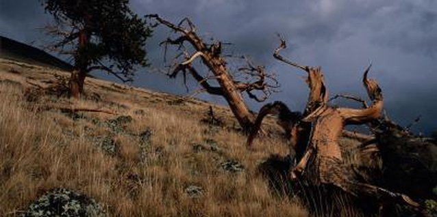 How to Prune a Bristlecone Pine