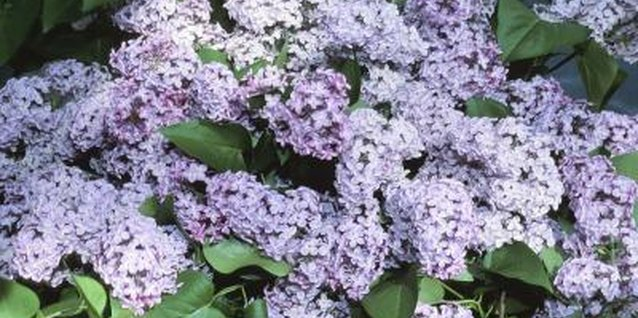 Lilac is particularly vulnerable to powdery mildew, oyster-shell scale and lilac borers.