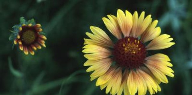 How to Harvest a Blanket Flower Seed