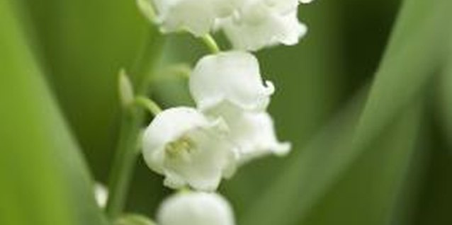 Lily of the valley produces dainty but highly fragrant flowers.